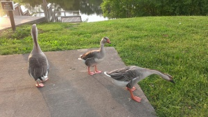 Find and feed ducks in Murfreesboro
