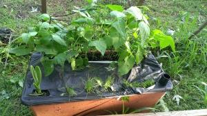 Garden is doing well