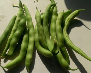My awesome and tasty Green Beans grown from seed
