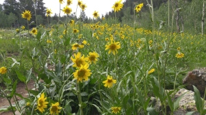 A gorgeous field of wild sunflowers